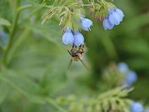 Τριχωτός-πληρωμένη μέλισσα λουλουδιών που συλλέγει το νέκταρ από τα λουλούδια lungwort Στοκ Φωτογραφία