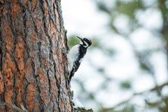 Τριχωτός δρυοκολάπτης σε ένα δέντρο πεύκων Στοκ φωτογραφία με δικαίωμα ελεύθερης χρήσης
