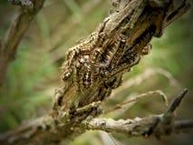 Τριχωτός σκώρος Caterpillars1 στοκ φωτογραφία με δικαίωμα ελεύθερης χρήσης