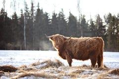 Τριχωτό βόδι στο wintersnow στοκ εικόνες