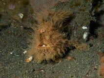 Τριχωτό frogfish Στοκ φωτογραφίες με δικαίωμα ελεύθερης χρήσης