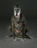 Τριχωτό greyhound Στοκ Φωτογραφίες