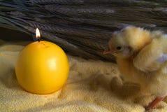 τριών ημερών νεοσσός στο αλεύρι στοκ φωτογραφία με δικαίωμα ελεύθερης χρήσης