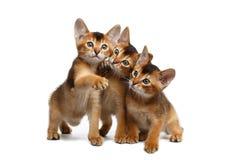 Τριών χαριτωμένη Abyssinian συνεδρίαση γατακιών στο απομονωμένο άσπρο υπόβαθρο Στοκ Φωτογραφίες