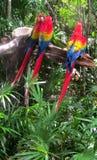 Τριών Macaws συνεδρίαση σε έναν κλάδο Στοκ εικόνα με δικαίωμα ελεύθερης χρήσης