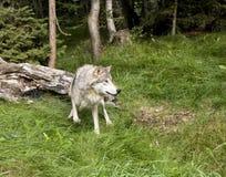 Τρομαγμένος λύκος Στοκ Φωτογραφίες