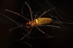 Τρομακτική μαύρη και κίτρινη αράχνη με τα μακριά πόδια στενή μακροεντολή μυγών λουλουδιών που στηρίζεται επάνω Στοκ Εικόνες