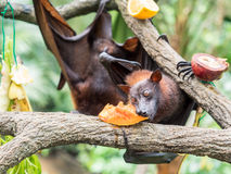 Τρομακτική πετώντας αλεπού στο δέντρο που τρώει τα φρούτα Στοκ φωτογραφίες με δικαίωμα ελεύθερης χρήσης