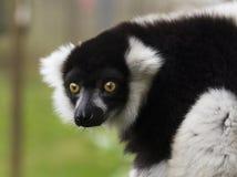 Τρομακτικός να κοιτάξει επίμονα κερκοπίθηκος Στοκ Εικόνες