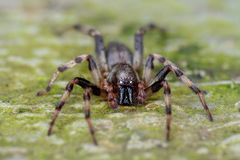 Τρομακτικό να φανεί μαύρη αράχνη στοκ φωτογραφία