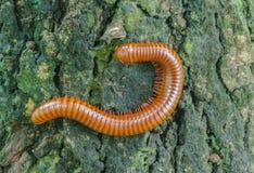 Τρομακτικό millipede στο ξύλο Στοκ φωτογραφίες με δικαίωμα ελεύθερης χρήσης
