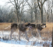 Τρομεροί λύκοι που κυνηγούν από κοινού Στοκ Εικόνες