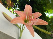Τρομερό ανοικτό ροζ λουλούδι στοκ εικόνες