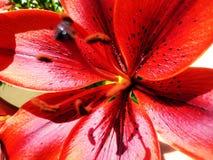 Τρομερό κόκκινο λουλούδι με τα μαύρα σημεία Στοκ φωτογραφία με δικαίωμα ελεύθερης χρήσης
