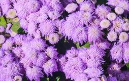 Τρομερό μπλε leilani λουλουδιών νήματος στο υπόβαθρο στοκ εικόνες