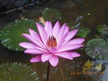 Τρομερό Lotus στοκ εικόνα με δικαίωμα ελεύθερης χρήσης