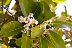 Τροπικά άσπρα λουλούδια Στοκ Εικόνα