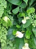 Τροπικά άσπρα Anthurium λουλούδια Στοκ Εικόνες
