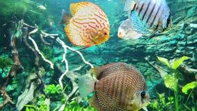 Τροπικά ζωηρόχρωμα πτερύγια κυμάτων ψαριών αργά στο ενυδρείο με τα φύκια στο υπόβαθρο φιλμ μικρού μήκους