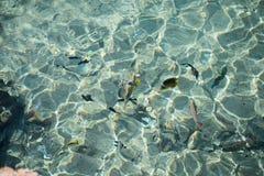 Τροπικά ζωηρόχρωμα ψάρια στο κρύσταλλο - καθαρίστε το νερό στη Ερυθρά Θάλασσα στοκ φωτογραφία με δικαίωμα ελεύθερης χρήσης