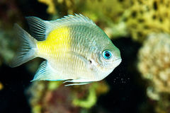 Τροπικά κίτρινα ψάρια στον ωκεανό κοντά στο σκόπελο Στοκ Εικόνες
