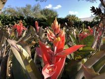 τροπικά λουλούδια bromeliad Στοκ φωτογραφίες με δικαίωμα ελεύθερης χρήσης