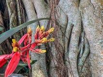 τροπικά λουλούδια bromeliad Στοκ Εικόνες