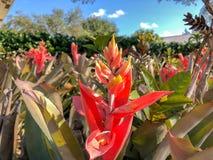 τροπικά λουλούδια bromeliad Στοκ Εικόνα