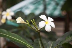Τροπικά λουλούδια Frangipani από το αποβαλλόμενο δέντρο, plumeria Στοκ Φωτογραφίες