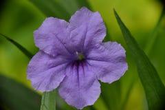 Τροπικά λουλούδια στο Μπαλί Ινδονησία Στοκ Εικόνα