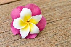 Τροπικά λουλούδια Frangipani, λουλούδια Plumeria Στοκ Εικόνες