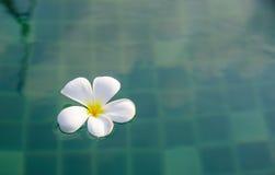 Τροπικά λουλούδια Plumeria στην πισίνα Στοκ Εικόνα