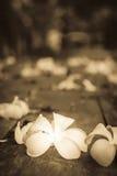 Τροπικά λουλούδια Plumeria στο ξύλο Στοκ Εικόνες