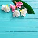 Τροπικά λουλούδια plumeria στο τυρκουάζ ξύλινο υπόβαθρο Στοκ Εικόνες