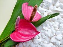 Τροπικά ρόδινα anthurium λουλούδια με τα φύλλα και τις πέτρες Στοκ φωτογραφίες με δικαίωμα ελεύθερης χρήσης