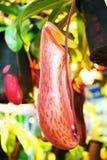 Τροπικά φυτά σταμνών Στοκ Εικόνες