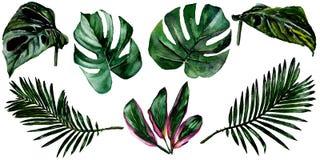 Τροπικά φύλλα της Χαβάης σε ένα ύφος watercolor που απομονώνεται απεικόνιση αποθεμάτων