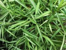 Τροπικά φύλλα μπαμπού Στοκ Εικόνες