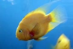 Τροπικά ψάρια από την Ασία Στοκ φωτογραφίες με δικαίωμα ελεύθερης χρήσης