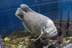 τροπικά ψάρια από το όνομα της Ινδονησίας του κυπρίνου Στοκ Εικόνες