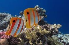 Τροπικά ψάρια και σκληρά κοράλλια στη Ερυθρά Θάλασσα Στοκ Εικόνες