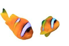 Τροπικά ψάρια που απομονώνονται στο άσπρο υπόβαθρο Στοκ Εικόνα