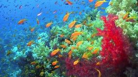 Τροπικά ψάρια στη δονούμενη κοραλλιογενή ύφαλο απόθεμα βίντεο