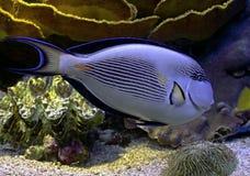 Τροπικά ψάρια 35 στοκ εικόνες