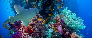 Τροπικά ψάρια Anthias με τα καθαρά κοράλλια πυρκαγιάς και καρχαρίας Στοκ εικόνες με δικαίωμα ελεύθερης χρήσης
