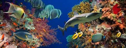 Τροπικά ψάρια Anthias με τα καθαρά κοράλλια πυρκαγιάς και καρχαρίας Στοκ Φωτογραφίες