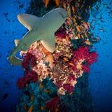 Τροπικά ψάρια Anthias με τα καθαρά κοράλλια πυρκαγιάς και καρχαρίας Στοκ Εικόνες