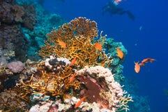 Τροπικά ψάρια Anthias με τα καθαρά κοράλλια πυρκαγιάς Στοκ Εικόνες