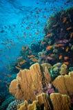 Τροπικά ψάρια Anthias με τα καθαρά κοράλλια πυρκαγιάς Στοκ Φωτογραφίες