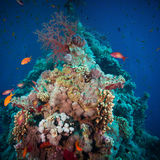 Τροπικά ψάρια Anthias με τα καθαρά κοράλλια πυρκαγιάς Στοκ φωτογραφίες με δικαίωμα ελεύθερης χρήσης